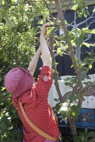 Summer pruning at Horfield Organic Community Orchard