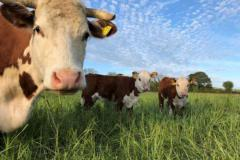 Picture of several brown and white cows looking at the camera in a grassy field with a blue sky above them